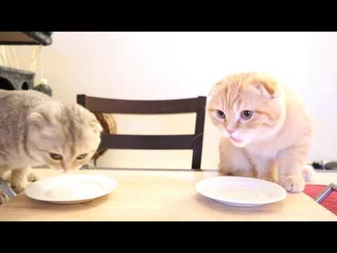 Elle And Teddy - Scottish Fold Kittens - Food Test!!