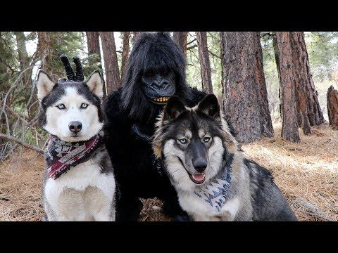 Huskies vs. Gorilla Prank!
