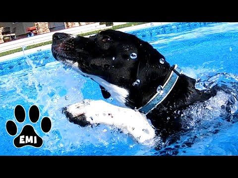 Emi's First Swim in Pool (English Pointer) Cute & Funny Dog Video