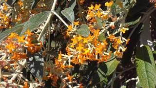 BUGDELIA DE INVIERNO: Buddleja madagascariensis (www.riomoros.com)
