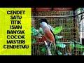 Cendet Nagen Satu  Titik Isian Unik Cocok Untuk Masteran Burung Cendet Kamu  Mp3 - Mp4 Download
