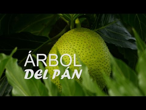 Singularidades del Árbol Del Pan - San Andrés, Colombia - TvAgro por Juan Gonzalo Angel