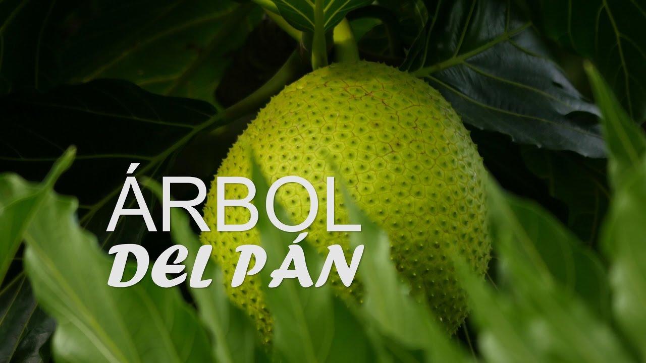 Singularidades Del árbol Del Pan San Andrés Colombia Tvagro Por