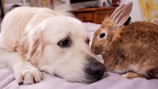 Dog and Rabbit are Inseparable Friends Forever