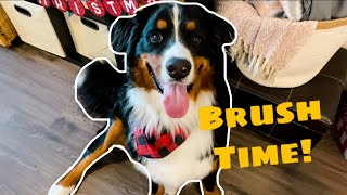 Brushing A Bernese Mountain Dog | Furminator Review
