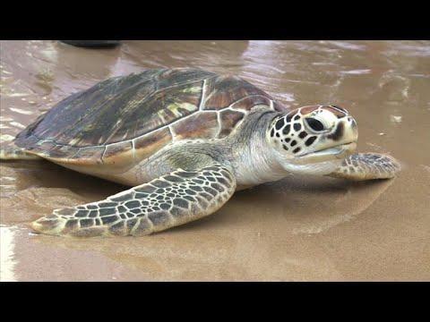 Thailand frees 1,066 turtles to celebrate King's birthday