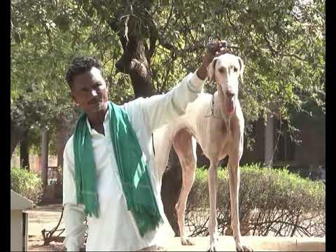 Mudhol dog Available in bagalkot