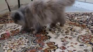 Игры экзоткошки Маркизы - 15-летняя персидская няша играет, как котенок!