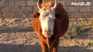 Смешная корова от Макса +100500