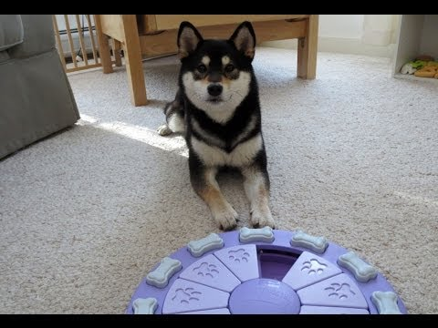 Shiba Inu Saki: Dog Toys - Nina Ottosson's Dog Twister Puzzle