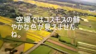 三光コスモス園を上空から撮影