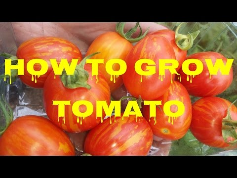 Complete Guide: How To Grow Tomato; From Seed To Plate | The Movie