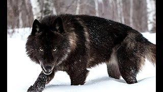 Black Wolf - The Mystery of Dark Wolves (Nat Geo Wild)
