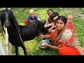 How to Milk a Goat by Hand Milking Goat by Village kids and Woman Drinking Raw Milk by Village kids