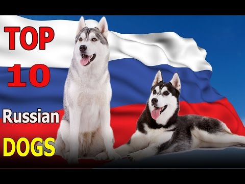 Top 10 Russian dog breeds | Top 10 animals