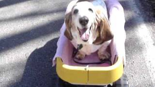 Thelma Lou the Basset Hound in her little yellow wagon