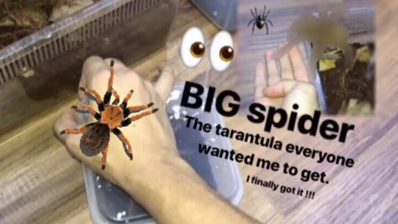 that-tarantula-everyone-wanted-me-to-get-i-finally-got-it
