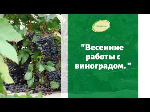 🍇Весенние работы с виноградом. Лучшие сорта для Сибири. Марценюк Надежда