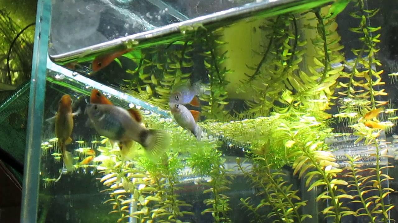 viermisori mici albi in acvariu rețete de suc detox de colon