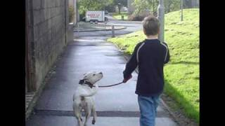 Staffordshire Bull Terrier - The 'real' Story