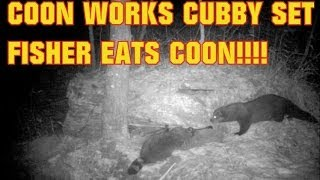 FISHER TRAPPING RACCOON TRAPPING! COON WORKS CUBBY SET FISHER EATS MY CATCH!