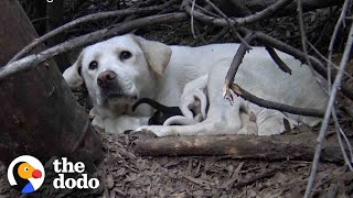 Stray Labrador Won't Let Rescuers Near Her Puppies | The Dodo