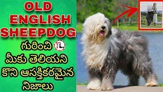 Old English Sheepdog Facts In Telugu