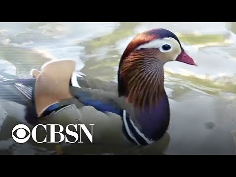 A.J. - A Rare East Asia Mandarin Duck Is Living In New York City!
