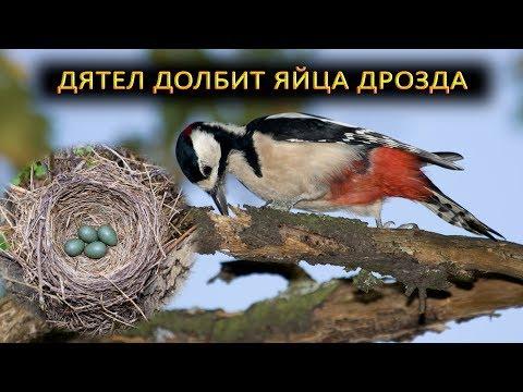 Дятел разоряет бесхозное гнездо дрозда