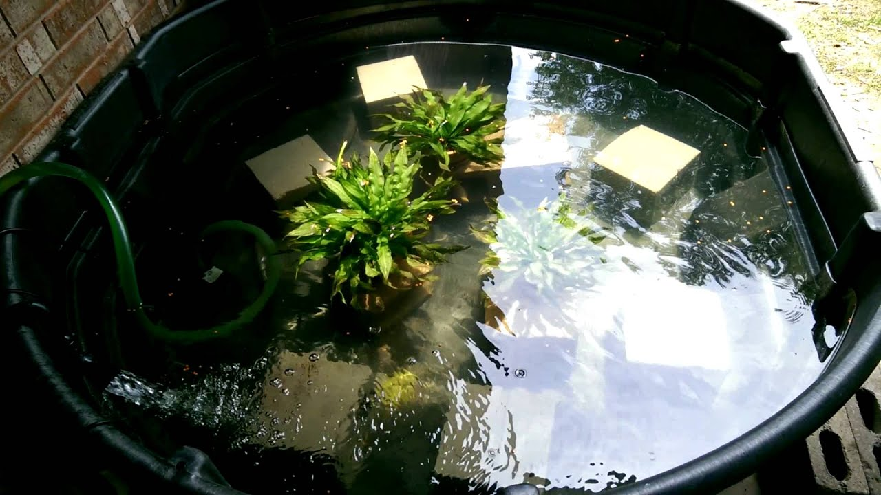 300g ampilophus citrinellus stock pond youtube for Small pond setup