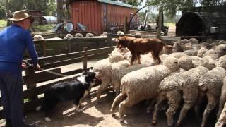 Video Hunde auf Schafen Australien