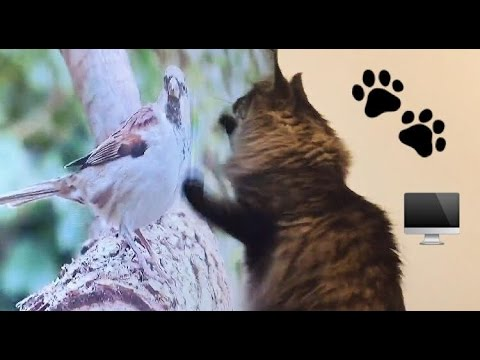 FUNNY CAT ATTACKS BIRDS ON TV