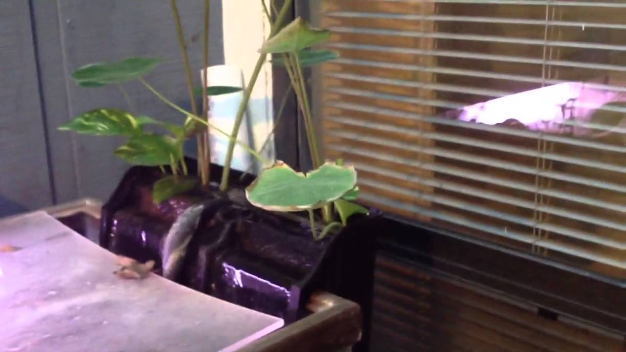 House Plants As Aquarium Filtration Jan 13 Youtube