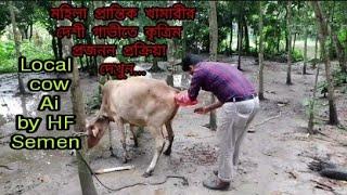 মহিলা প্রান্তিক খামারীর দেশী গাভীতে কৃত্রিম প্রজনন প্রক্রিয়া দেখুন Local Cow Ai by Hf Semen