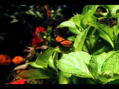 Monarch Butterfly Flight