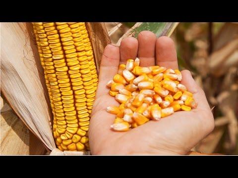 Clique e veja o vídeo Produção de Milho em Pequenas Propriedades - Pragas e doenças