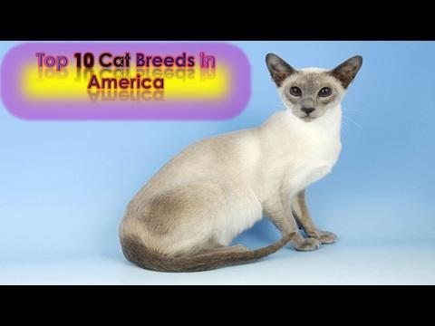 Top 10 Cat Breeds in America