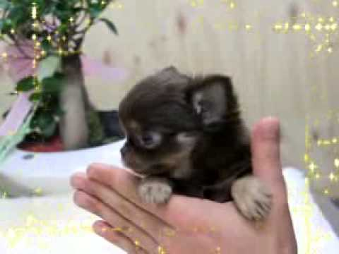 Teacup puppy for sale ! Micro teacup chihuahua!