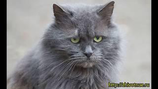 Кошка с туманной шерстью. Нибелунг. Породы кошек.