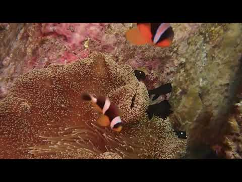 Seychelles Anemonefish Against Surge