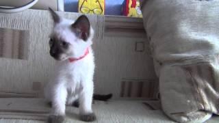 Тайский котенок 2 мес.