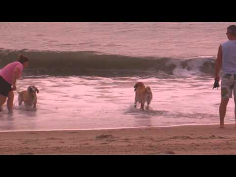 Dogs Playing In Surf At Dewey Beach DE 6-24-11