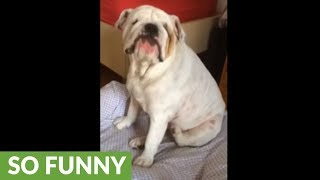 Bulldog has itch she can't scratch, throws temper tantrum