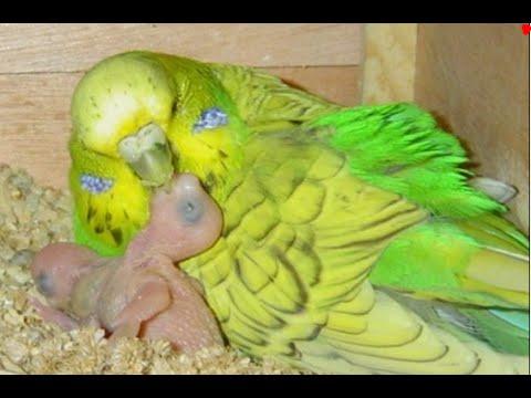 РАЗМНОЖЕНИЕ ВОЛНИСТЫХ ПОПУГАЕВ.  САМКА Кормит Птенца Волнистого Попугая
