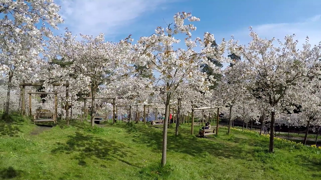 Cherry Blossom Orchard Alnwick Garden Youtube