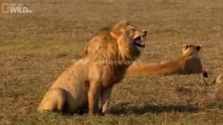 Động vật hoang dã 2016 | Cười rụng rốn với giọng cười của con sư tử | Thế Giới Động Vật