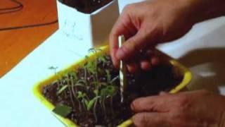 Пикировка томатов ( Plant tomatoes ) - Видео.(Пикировка томатов - видео к записи в блоге сайта http://abc2home.ru/ . Тема: Томат: Ждем урожая помидоров. Блог: Дача..., 2010-04-26T01:11:26.000Z)