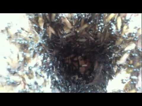 Hormigas carpinteras en conífera. Adirondacks, NY