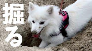 日本スピッツちぃ。は穴掘りも大好き! 葛西臨海公園の砂浜を掘り掘りす...