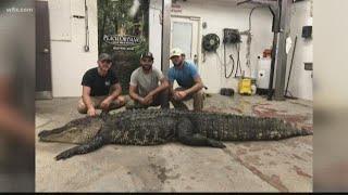 12-foot, 700 pound gator found in Lake Marion